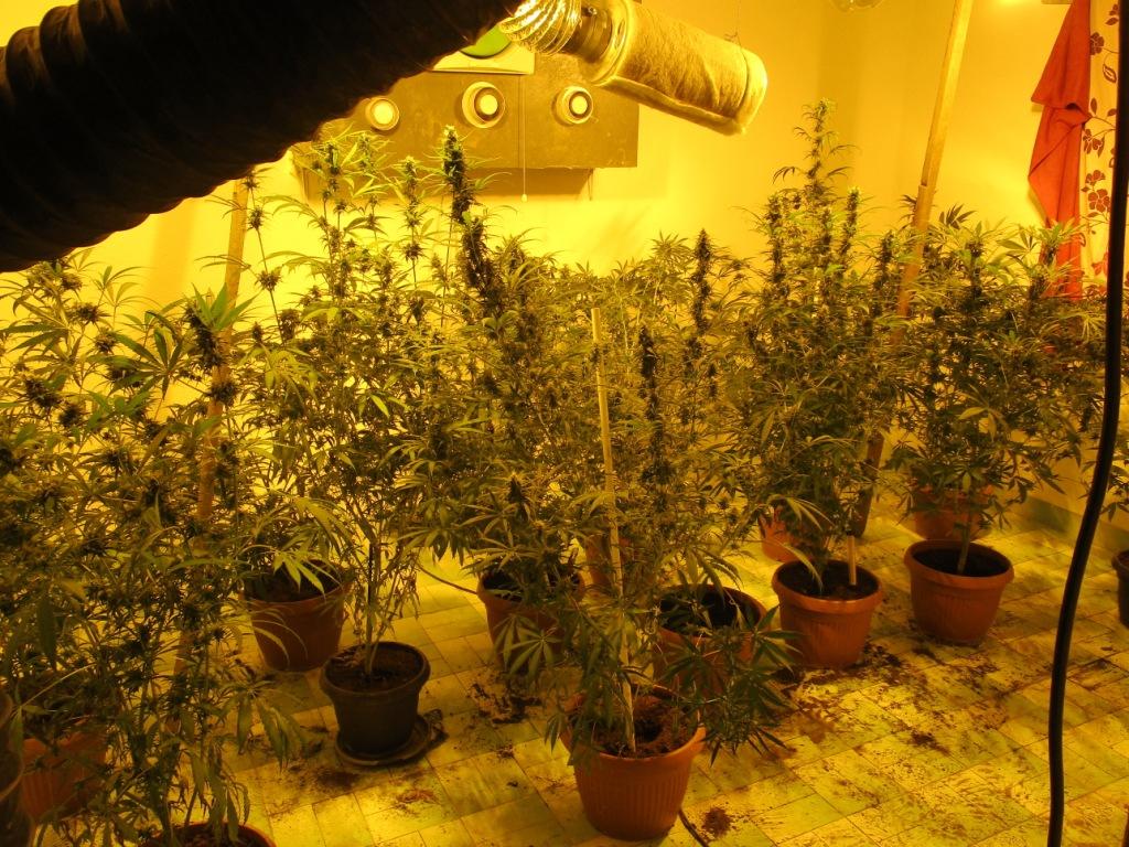policija-u-dakovici-otkrila-laboratorija-za-uzgajanje-kanabisa