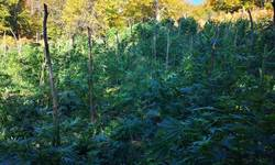 kosovska-policija-zapalila-4050-stabljika-marihuane-na-kosarama