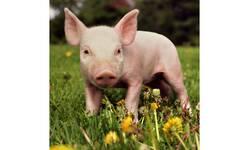 bez-registrovanih-slucajeva-svinjske-kuge-na-kosovu